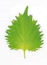 perilla green